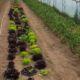 Pura-vida-organic-farm-6